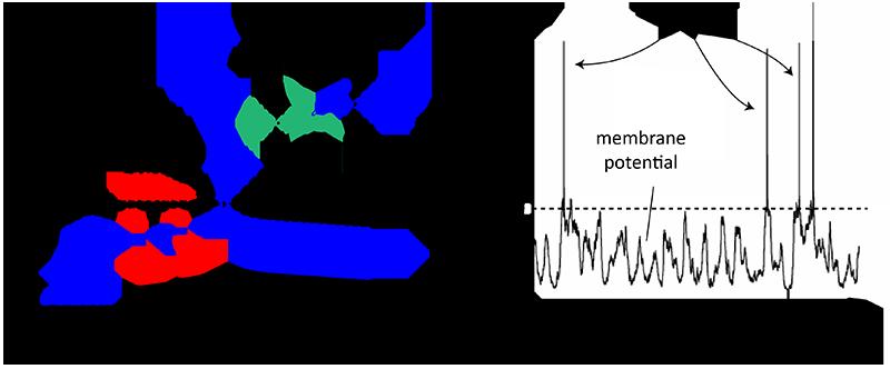 apa itu neuron, defenisi, dan cara kerjanya.